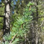 Larix laricina (Larch)…..photographed by Charles D. Bird on Sept. 12, 2015…..submitted by Charles D. Bird