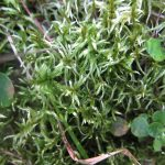Pleurozium schreberi (Big Red-stem Moss)…..Submitted by: Charles D. Bird…..Photographer: Charles D. Bird…..Sept. 22, 2012