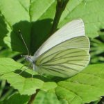 Pieris napi oleracea (Mustard White)……submitted by: Charles D. Bird……photographer: Charles D. Bird……June 7, 2014
