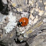 Coccinella septempunctata (7 Spotted Lady Beetle)……photographed by: Charles D. Bird……submitted by: Charles D. Bird……June 14, 2014.
