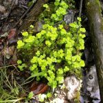 Chrysosplenium iowense (Iowa Golden Saxifrage)…..Submitted by: Charles D. Bird…..Photographer: Charles D. Bird…..June 30, 2004