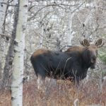 Yearling bull Moose……Submitted by: Charles D. Bird…..Photographer: Charles D. Bird…..Oct. 26, 2013