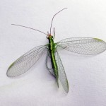 Chrysopa oculata (Green Lacewing)…..Submitted by: Charels D. Bird…..Photographer: Charles D. Bird…..Oct. 6, 2013