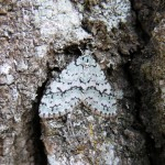 Cladara atroliturata, a Geometrid Moth, on tree bark…..Submitted by: Charles D. Bird…..Photographer: Charles D. Bird…..April 1, 2013