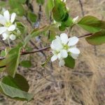 Amelanchier alnifolia (Saskatoon)…..Submitted by: Charles D. Bird…..Photographer: Charles D. Bird…..May 18, 2013