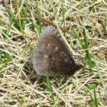 Erebia discoidalis (Red-disked Alpine)…..Submitted by: Charles D. Bird…..Photographer: Charles D. Bird…..May 11, 2013