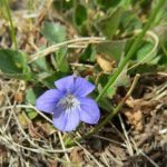Viola adunca (Early Blue Violet)…..Submitted by: Charles D. Bird…..Photographer: Charles D. Bird…..May 18, 2013