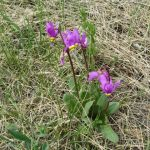 Dodecatheon radicatum (Shooting Star)…..Submitted by: Charles D. Bird…..Photographer: Charles. D. Bird…..May 18, 2013
