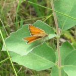 Thymelicus lineola (European Skipper) on low milkweed..…submitted by: Charles D. Bird…..photographer: Charles D. Bird..…July 14, 2012.