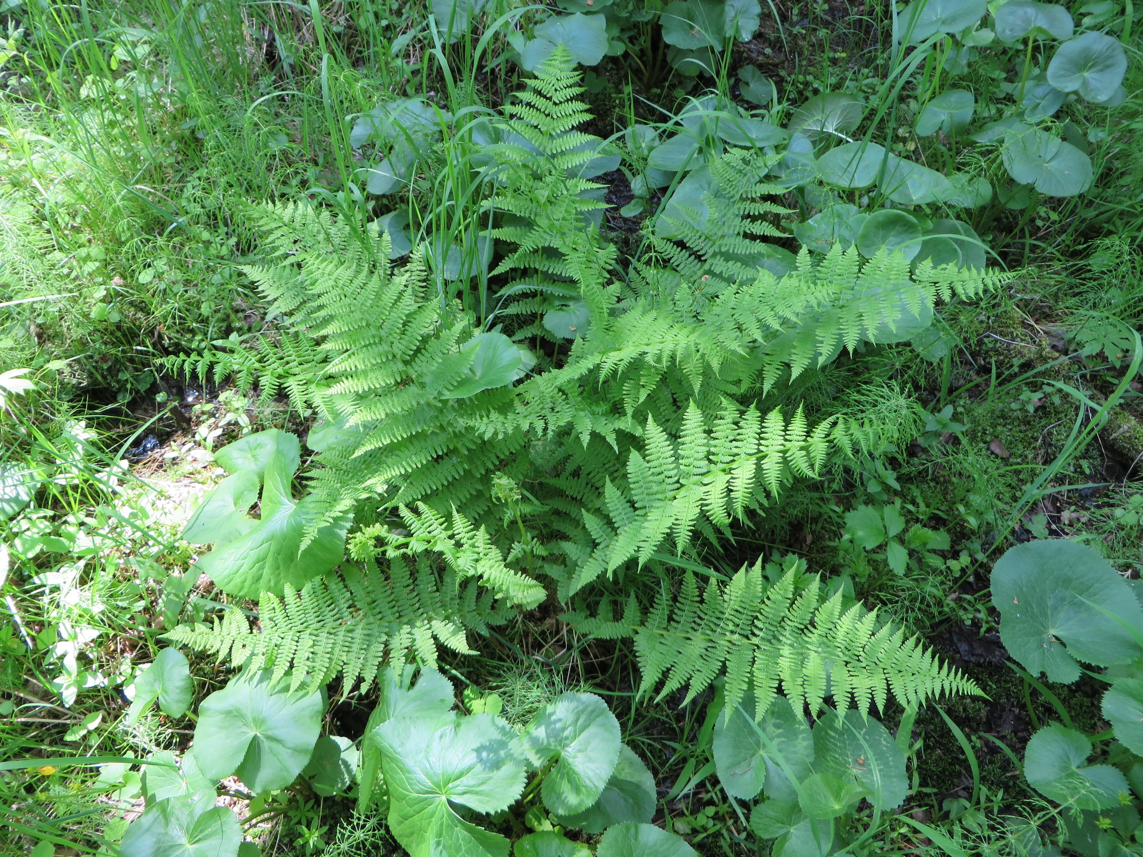 Vascular Plants :: J.J. Collett