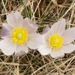 Pulsatilla ludoviciana (Prairie Crocus)…..Submitted by: Charles D. Bird…..Photographer: Charles D. Bird…..June 3, 2008