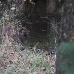 Beaver at JJ Collett….Photographer: Roger S…..Oct. 22, 2014