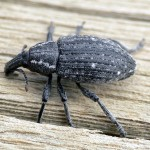 Lephyrus gemellus (a weevil)…..Submitted by: Charles D. Bird…..Photographer: Charles D. Bird…..June 3, 2008