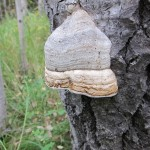 Fomes fomentarius (Tinder Conk) on balsam poplar…..Submitted by: Charles D. Bird…..Photographer: Charles D. Bird…..Sept. 15, 2012
