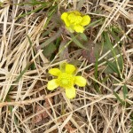 Ranunculus rhomboideus (Early Prairie Buttercup)…..Submitted by: Charles D. Bird…..Photographer: Charles D. Bird…..June 3, 2008