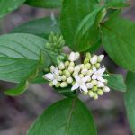 Cornus stolonifera (Red Osier Dogwood) Submitted by: Charles D. Bird…..Photographer: Charles D. Bird…..May 28, 2006
