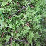 Ptilium crista-castrensis (Pume Moss)…..Submitted by: Charles D. Bird…..Photographer: Charles D. Bird…..Sept. 15, 2012