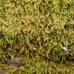 Sanionia (Drepanocladus) uncinata (Sickle Moss), contributed by: Charles D, Bird, photographed by: Charles D. Bird, 3 May 2014.