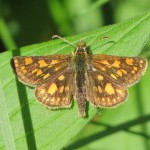 Carterocephalus mandan (Mandan Skipper)……photographed by: Charles D. Bird……submitted by: Charles D. Bird……June 14, 2014.