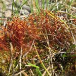 Ceratodon purpureus (Fire Moss)…..submitted by Charles D. Bird…..photographed by Charles D. Bird on May 14, 2016.