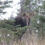 Moose…...Submitted by: Roger S……Photographer: Roger S….Oct. 2, 2011