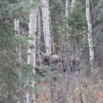 Thanksgiving Moose…...Submitted by: Roger S……Photographer: Roger S…..Oct. 7, 2011