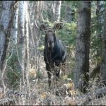 Yearling Bull Moose…..Submitted by: Charles Bird……Photographer: Charles Bird…..Oct. 29, 2011