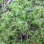Hylocomium splendens (Stair-step Moss)…..Submitted by: Charles D. Bird…..Photographer: Charles D. Bird…..Sept. 22, 2012