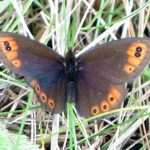 Erebia epipsodea (Common Alpine)…… photographed by Dr. Charles D. Bird……submitted by Dr. Charles D. Bird……June 21, 2014