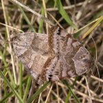 Caenurgina crassiuscula (Clover Looper Moth) mating…..Submitted by: Charles D. Bird…..Photographer: Charles D. Bird…..June 30, 2004