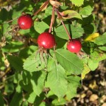 Rosa acicularis (Prickly Rose) in fruit…..Submitted by: Charles D. Bird…..Photographer: Charles D. Bird…..Sept. 22, 2012