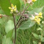 Danaus plexippus (Monarch), caterpillar on Low Milkweed…..Submitted by: Charles D. Bird…..July 15, 2012