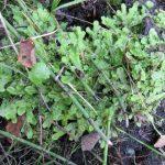 Conocephalum conicum (Snakeskin Liverwort), a thalloid liverwort…..Submitted by: Charles D. Bird…..Photographer: Charles D. Bird…..Oct. 9, 2013