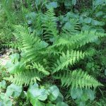 Dryopteris carthusiana (Narrow Spinulose Shield Fern)……photographed by: Charles D. Bird……submitted by: Charles D. Bird……June 14, 2014.