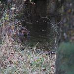 Beaver at JJ Collett….Photographer: Roger S…..Oct. 22, 2014