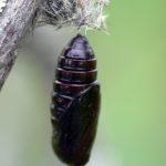 Ctenucha virginica (Virginia ctenucha moth) chrysalid…..Submitted by: Charles D. Bird…..Photographer: Charles D. Bird…..June 28, 2006