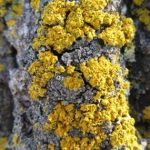 XANTHOMENDOZA FALLAX, THE HOODED SUNBURST LICHEN…..Submitted by: Dr. Charles D. Bird…..Photographer: Dr. Charles D. Bird…..March 27, 2013