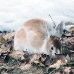 Snowshoe or Varying Hare (Lepus americanus)…..Submitted by & Photographer: Charles D. Bird…..April 5, 2014