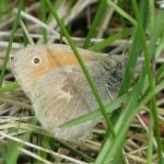 Coenonympha inornata (Ringlet)…… photographed by: Charles D. Bird……submitted by: Charles D. Bird……June 21, 2014