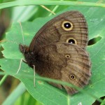 Cercyonis pegala (Meadow Brown)……contributed by: Charles D. Bird……photographed by: Charles D. Bird……July 19, 2013.