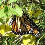 Danaus plexippus (a Monarch)….Submitted by: Charles D. Bird……..Photographed by: Charles D. Bird…..Sept. 8, 2012