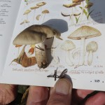 Coprinopsis uliginicola - Bog Psathyrella…..Submitted by Charles D. Bird…..Photographed by Charles D. Bird on September 26, 2015.