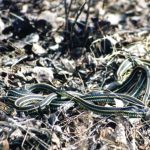 Red-sided Garter Snakes mating......Photographed by: Sylvia G. ......Submitted by: Charles B......March, 07.